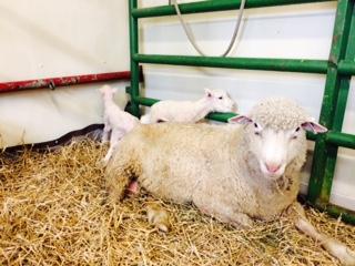 Sheep & babies pic