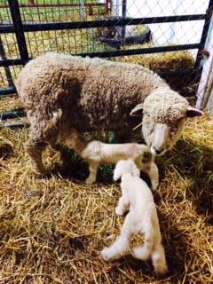 sheep pic 1