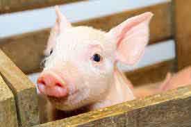 swine-photo