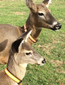 deer-pic-2