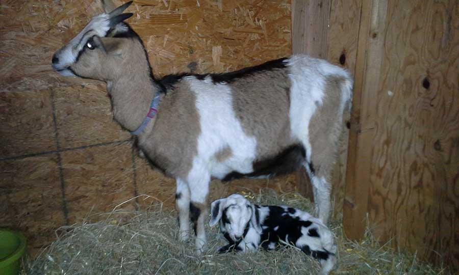 goat-pic-3